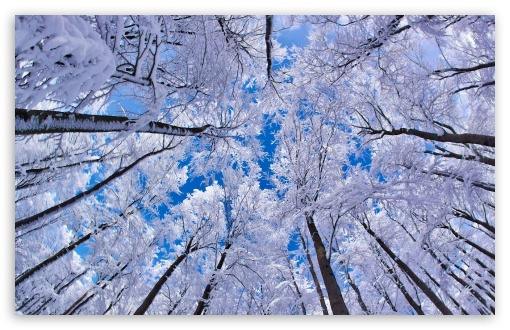 Looking Up Through Trees, Winter Wallpaper